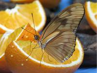 Dryas Julia - Enjoying the oranges