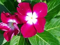 Madagascar Periwinkle - red