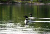 Loon Duo