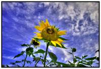 Ragged Sunflower HDR