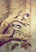 CHICKADEES on BRANCH by SHARON SHARPE