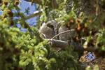 Yellowstone 2009 Great Horned Owl Chick gloriousjo