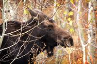 Moose by David Kocherhans