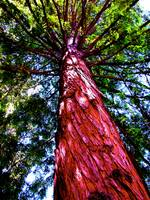 California Redwood