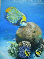 Emperor angelfish with coral