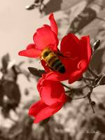 Bee Red - a honey bee on a red flower
