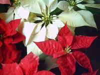 Mixed color Poinsettias 2