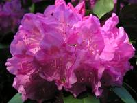 Rhododendron Beauty