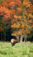 Elk with Autumn Colors