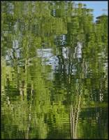Reflections of Tall Trees