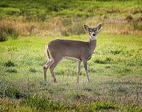 Julia Butler NWR_White-tailed Deer