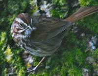 Nisqually NWR_song sparrow