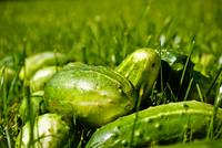 Cucumbers in the grass