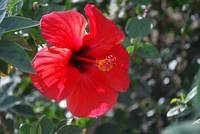 Hibiscus from the Middle East