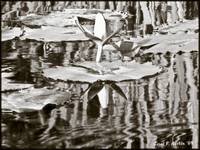 Water Lily Pond Reflections