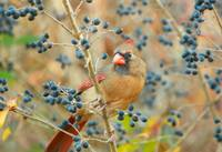 Autumn Female Cardinal