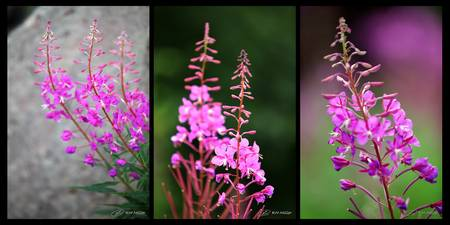 Fireweed Series