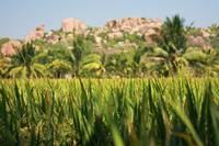 India Hampi Rice fields and red rocks