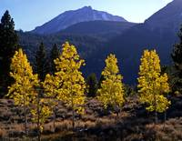 Small Aspens and Mt. Dana