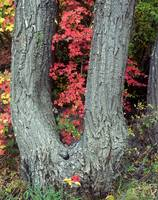 Canyon Maple Tree
