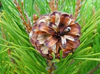 PINE CONE ARTWORK Forest Pine Tree Prints Baslee
