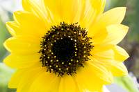 Spring Yellow Sunflower