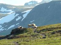 welcoming sheep 2 Hardangervidden Norway