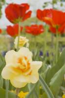 Yellow Daffodil and  Red Tulips