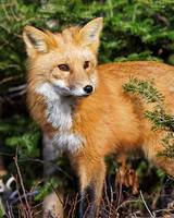 Curious Little Red Fox