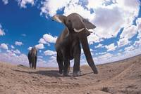 Elephants Marching on Dry Dirt