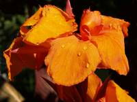 Water Drops on Orange Flower