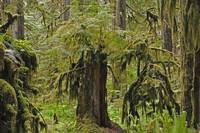 Old Growth Rainforest Recycle