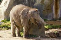 Baby Elephant Beco Enjoys Indian Summer