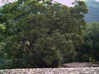 Tree next to Malinalco Ruins