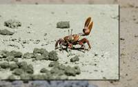 Waving Crab