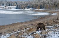 Grizzly At Yellowstone Lake