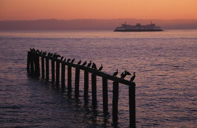 A ferry passes cormorants resting at sunset