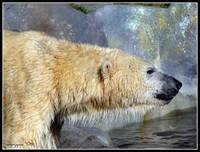 The Artic Monarch - Ursus maritimus