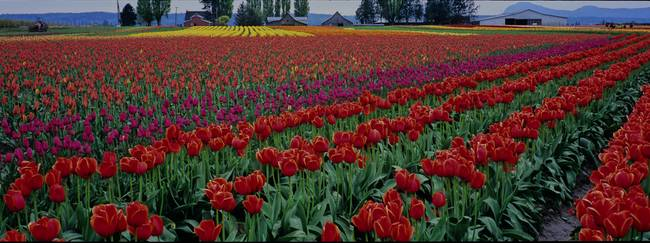 Panorama of Tulip Field in Skagit Valley, WA