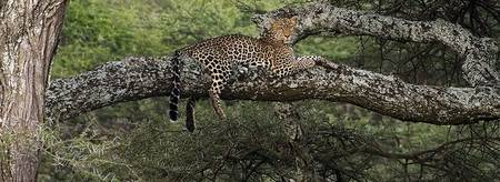 Leopard On A Limb