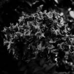 Crepe Myrtle BW Prints & Posters
