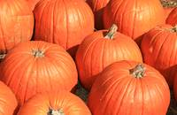 Pumpkin Patch 0188