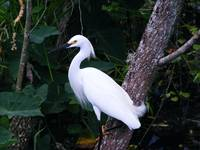 Egret Resting in shade