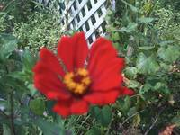 Red Zinnia Close Up