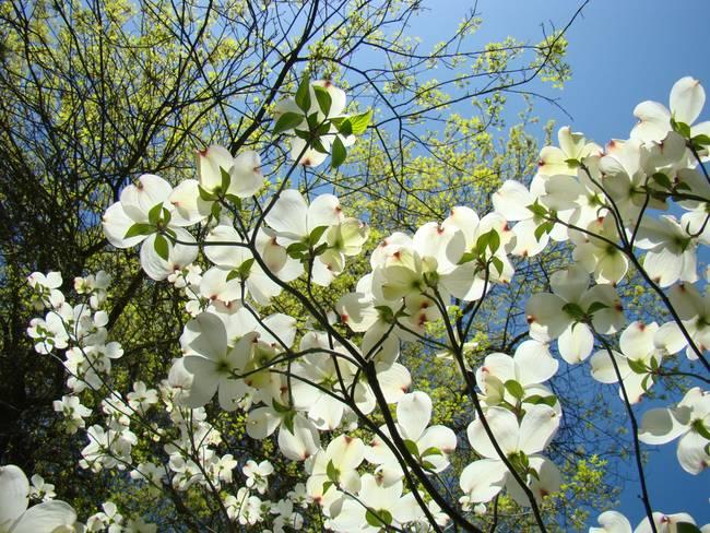 Dogwood Trees Art Prints White Dogwood Flowers By Baslee Troutman
