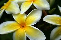wet yellow plumeria