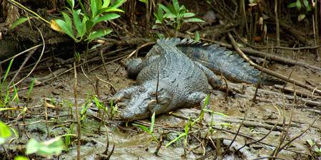 Medium Croc - Daintree River