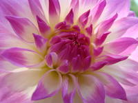 DAHLIAS Flowers Art Print Canvas Dahlia