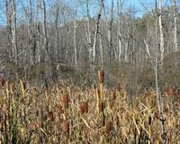 Trees and Cattails