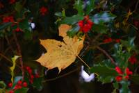 Yellow Leaf Stranded In Holly